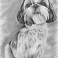 Drawing Of A Shih Tzu by Lena Auxier