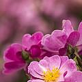 Pink Old Fashioned Rose by Karen Forsyth