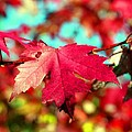 Dreaming Of Maple Jewels by Valerie Fuqua