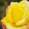 Dream's Come True Rose By Walter Herrit  by Walter Herrit