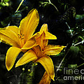Dreams Of A Day Lily by Belinda Greb
