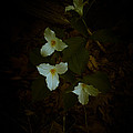 Dreamscapes - Trilliums 2 by Kathi Shotwell