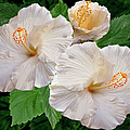 Dreamy Blooms - White Hibiscus by Ben and Raisa Gertsberg