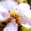 Dreamy Cherry Blossom by Nina Ficur Feenan