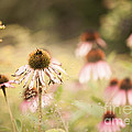 Dreamy Coneflowers by Mary  Smyth