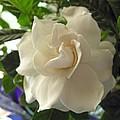 Dreamy Creamy Gardenia by Barbara McDevitt