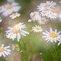 Dreamy Daisies On Summer Meadow by Jenny Rainbow