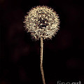 Dreamy Dandelion by Miss Dawn