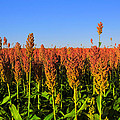 Dreamy Field Of Sorghum In The Afternoon Sun by Mark Tisdale