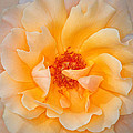 Dreamy Orange Rose by Dave Mills