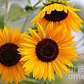 Dreamy Sunflower Day by Carol Groenen