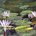 Dreamy  Water Lillies by Judith Russell-Tooth