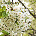 Dreamy White Cherry Blossoms - Impressions Of Spring by Georgia Mizuleva
