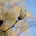 Dreamy Wild Magnolia In The Forest by Georgia Mizuleva