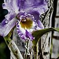 Dressed In Purple by Douglas Barnard