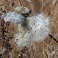 Dried Milk Weed  by Jamie  Smith