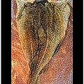Dried Salted Codfish Back by Barbara Griffin