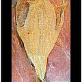 Dried Salted Codfish Front by Barbara Griffin