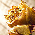 Dried Yellow Rose by Daniel Troy