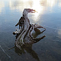 Driftwood Lizard On Ice by Richard Griffis