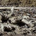 Driftwood Mt. Rainier  by Paul Shefferly