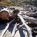 Driftwood Octopus - Oregon Coast