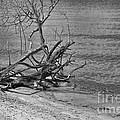 Driftwood by Olga Hamilton