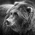 Drinking Grizzly Bear Black And White by Steve McKinzie
