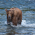 Dripping Grizzly by Joan Wallner