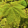 Dripping Vine Maple by Curtis Knight