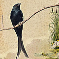 Drongo by Milind Waichal