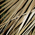 Dry Palm Leaves by Bob Slitzan
