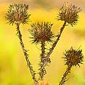 Dry Brown Thistle by J Michael Nettik