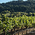 Dry Creek Road Vineyard by Suzanne Luft