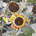 Dry Sunflowers by Augusta Stylianou