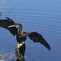 Wet Anhinga by Christiane Schulze Art And Photography