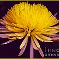 Dual Coloured Chrysanthemum by Joan-Violet Stretch