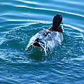 Duck Bath by Charles Butterfield