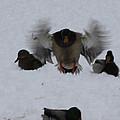 Duck Crash Landing by John Telfer