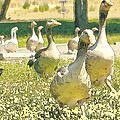 Duck Duck Goose by Artist and Photographer Laura Wrede