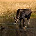 Duck Duck Moose by Steve Stuller