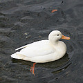 Duck Getting Feet Wet by Tim  Senior