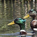 Duck Good Friends 1 by Les OGorman