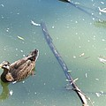 Duck In Pond by Michelle Miron-Rebbe
