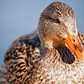 Duck In Water by Christopher Kimmel