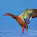 Duck Landing by Nick Zelinsky