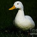 Duck by Mats Silvan