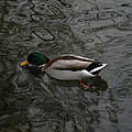 Duck On A River by Tim Senior