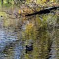 Duck On Pond by Nick Peters