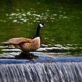 Duck On The River Wye Waterfall - In Bakewell Peak District - England by Doc Braham